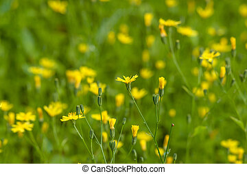 Lapsana communis on a field - High resolution photo in best...