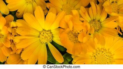 lapse., ноготки, букет, цветы, время