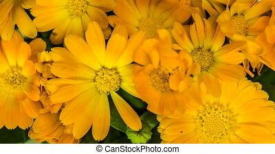 lapse., souci, bouquet, fleurs, temps