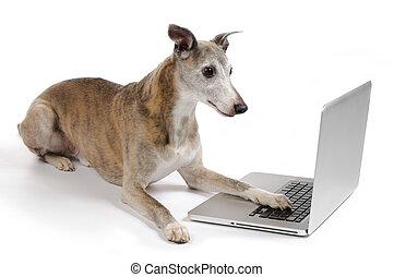 laptop, kutya, dolgozó