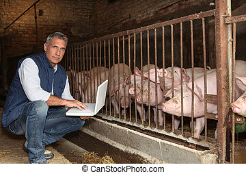 laptop, porcos, homem