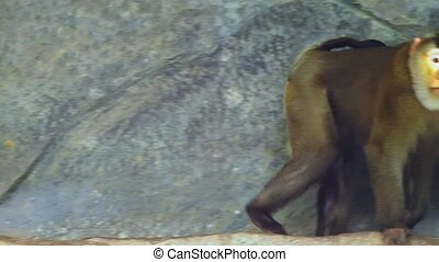 lapunder, male pig-tailed macaque moving on stone rock.