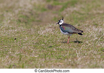 Lapwing in a field