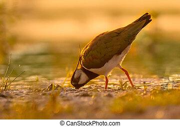 lapwing, norte, manhã, cores, morno, wetland, bicar