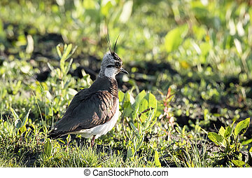 Northern Lapwing in the grass