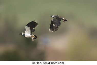 Lapwings displaying in mid air, close up