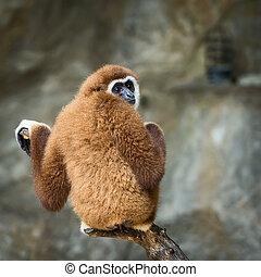 Lar gibbon. - Lar gibbon looking something.