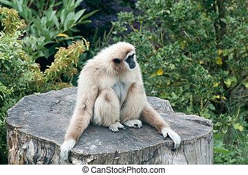 Lar Gibbon - A Lar Gibbon sitting on a tree stump