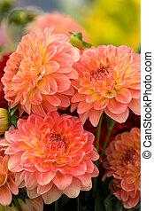 laranja, chrysanthemums