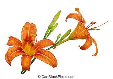 laranja, daylily, flor