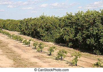 laranja, fases, árvores