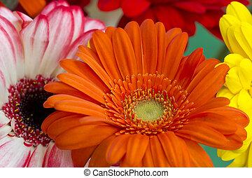 laranja, gergera, arranjando flores, em, a, primeiro plano