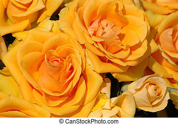 laranja, pétala, rosas amarelas