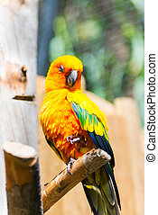laranja, papagaio