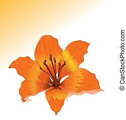 laranja, vetorial, lírio