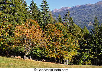 larch and pine