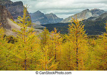 Larch - Beautiful golden larches in mountains, Canada. Fall ...