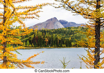 Larch - Beautiful golden larches in mountains, Fall season.