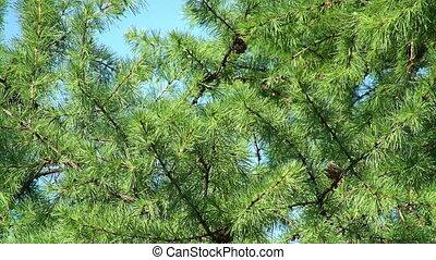 larch boom, het weven, door, de, wind