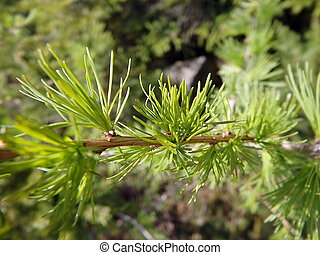 larch, branch - closeup