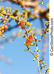 larch branches in spring