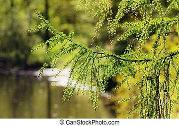 larch branches in the foreground
