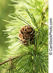 Larch close up