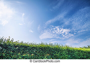Larch hedge in a garden under a blue sky