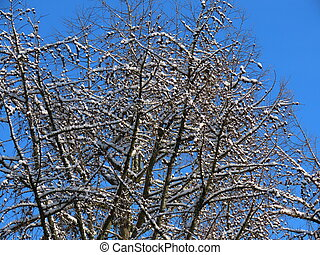 Larch in winter