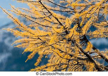 Larch Pine