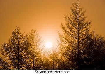 Larch plantation and sunrise