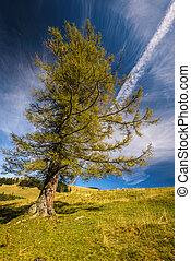 Larch - Single larch tree in yellow autumn color in sunny...