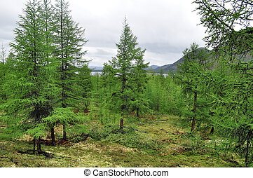Larch taiga in the mountain region of Yakutia. Ridge...