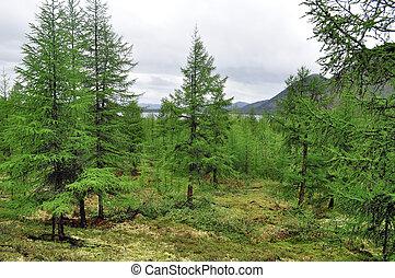 Larch taiga in the mountain region of Yakutia. Ridge...