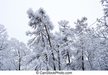larch tree branch snow rime electric wire winter