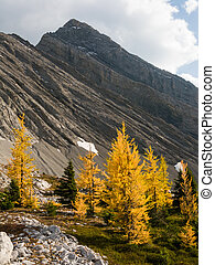 Larches in autumn in the Canadian Rockies
