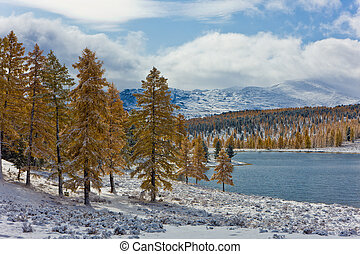 Larches on the bank of mountain lake in the winter