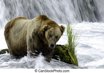 Large adult brown bear in a steam - A large adult Alaskan...