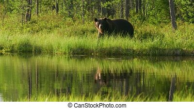 Large adult brown bear living free in the forest - Big brown...