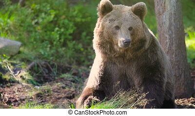 Large adult brown bear relaxing and scratching in the forest...