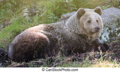 Large adult brown bear relaxing in the forest - Big brown...