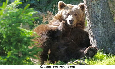 Large adult brown bear rests and scratching in the forest -...