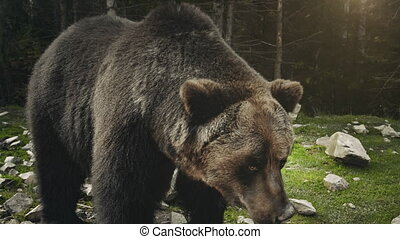 Large adult brown bear rests, close up view - Brown bear...