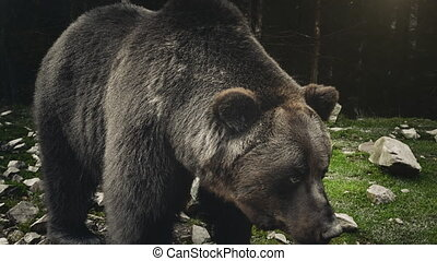 Large adult brown bear rests, close up view