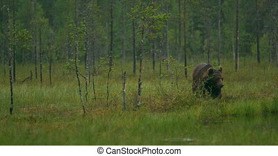 Large adult brown bear walking free in the forest at night -...