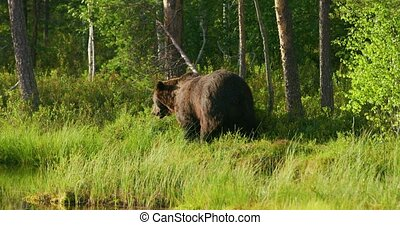 Large adult brown bear walking free in the forest - Big...