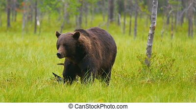 Large adult brown bear walking in the forest while birds...