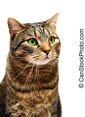 Large adult tabby cat on white - Large adult tabby cat,...