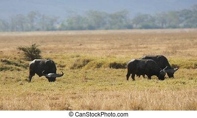 Large african buffalo eat grass