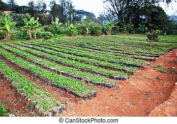 Large African coffee nursery - African arabica coffee...